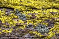 Lichen-Covered Rock
