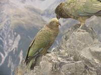 Keas telling secrets, Avalanche Peak, New Zealand