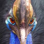 """Cassowary"" by rdwittle"