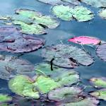 """Lily Pads: Red Butte Garden"" by Mylene"
