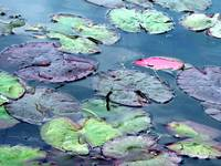 Lily Pads: Red Butte Garden