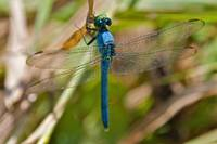 Male Common Pondhawk