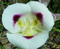 Botanical - Mariposa Lily - Outdoors Floral