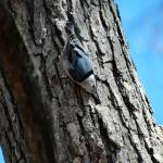 """Nuthatch"" by CynthiaHickman"