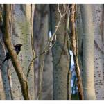 """Brown Headed Cowbird in the Trees at Picnic Point"" by VeganMe"