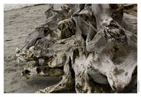 Boar's Head Driftwood on Edmonds Beach