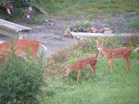 Deer Doe and Twins 6996
