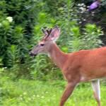 """Bucks Closeup 6922"" by TomBellEagleWing"