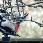 """feeding woodpecker(Dendrocopos Major)"" by andrewawk"