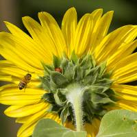 """The Ladybug Bee and Sunflower"" by James ""BO"" Insogna"