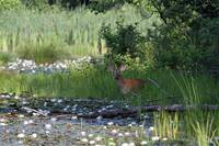 Buck in Pond