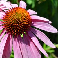 Purple Coneflower in Summer