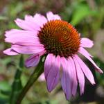 """Summer Purple Coneflower"" by PatriciaSanders"