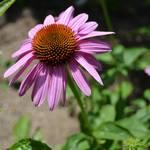 """""""Echinacea Flower"""" by PatriciaSanders"""