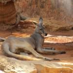 """Kangaroo"" by jansmall"