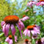 """Purple Coneflowers Inspirations"" by PatriciaSanders"