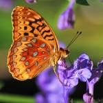 """Great Spangled Fritillary (Speyeria cybele)"" by shelshots"
