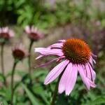 """""""Echinacea Flowers"""" by PatriciaSanders"""