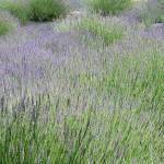 """Lavender Fields Forever"" by JanaSinor"