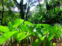 Hawaiian Taro Patch