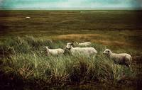 sheeps in the north