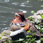"""Mandarin Duck"" by painterflipper"