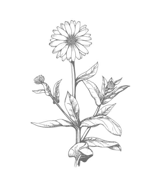 Marigold Flower Sketch Pictures To Pin On Pinterest