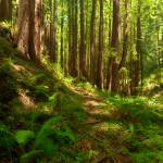 """Dreamy California Redwoods"" by mtilghma"