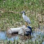 """Yellow-Crowned Night Heron"" by CynthiaHickman"