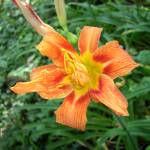 """Orange Day Lily"" by TBowmanPhotography"