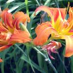 """Double day lily"" by TBowmanPhotography"