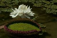 Water Lily, Nymphaeaceae