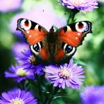 """""""The Butterfly with purple flowers"""" by JohnEmmaneel"""