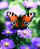 The Butterfly with purple flowers