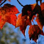 """Red Maple leaves_3966"" by davies"