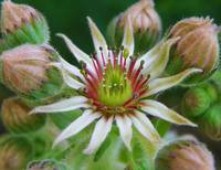 Floral - Sempervivum Tectorum - Garden Flower