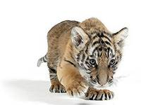 Stalking Tiger Cub on White