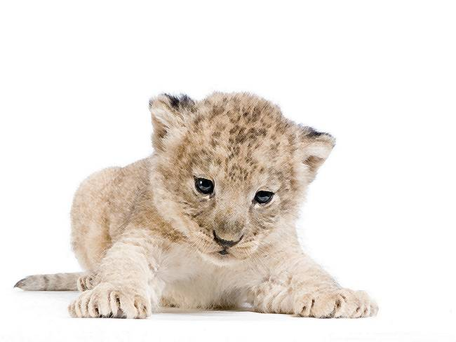"Stunning ""Baby Lion Cub"" Artwork For Sale on Fine Art Prints"