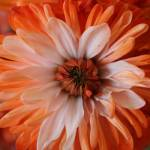 """Orange Dahlia"" by NaturEscapesPhotography"