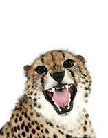 Cheetah on White