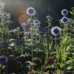 """""""Puffy Purple Flowers"""" by stilljustabill"""