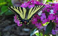 Insect Macro - Tiger Swallowtail Butterfly
