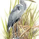 """""""Great Blue Heron 3"""" by lindalou2"""