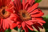 Red Daisy Close Up