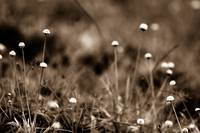 Weeds in Sepia
