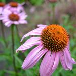 """Echinacea Beauty"" by PatriciaSanders"