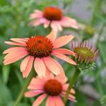 """Summer Echinacea"" by PatriciaSanders"