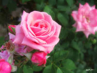 Pink Roses in Anzures 1