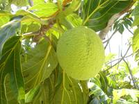 exuma bread fruit