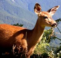 Hurricane Ridge Deer 2